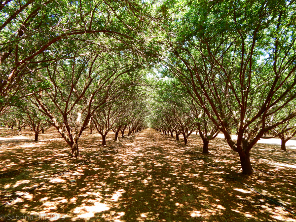 An almond orchard in Fresno County